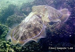 Mating Cuttlefish. Muskat, Oman. by Jonny Simpson-Lee 